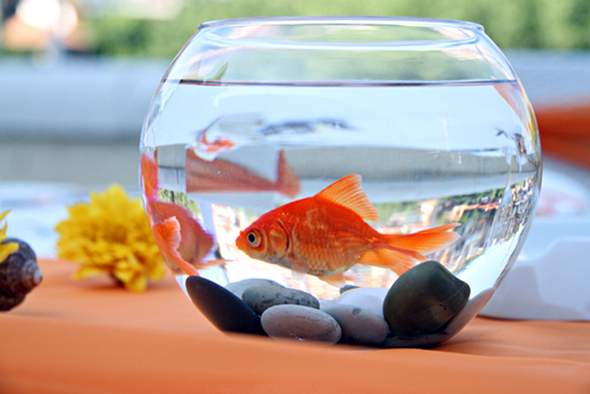 een vissenkom is slecht voor een goudvis dierenbox. Black Bedroom Furniture Sets. Home Design Ideas