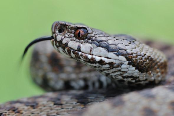 welke giftige reptielen zijn in nederland