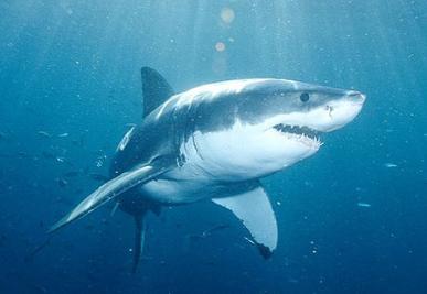 Australi 235 Gaat Haaien Doden Die Zwemmen Bij Populaire Stranden