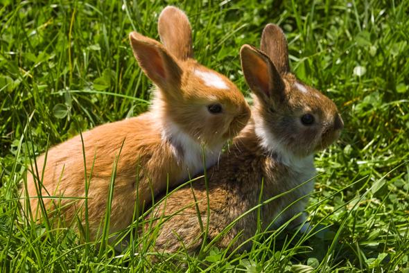 konijnen in het gras