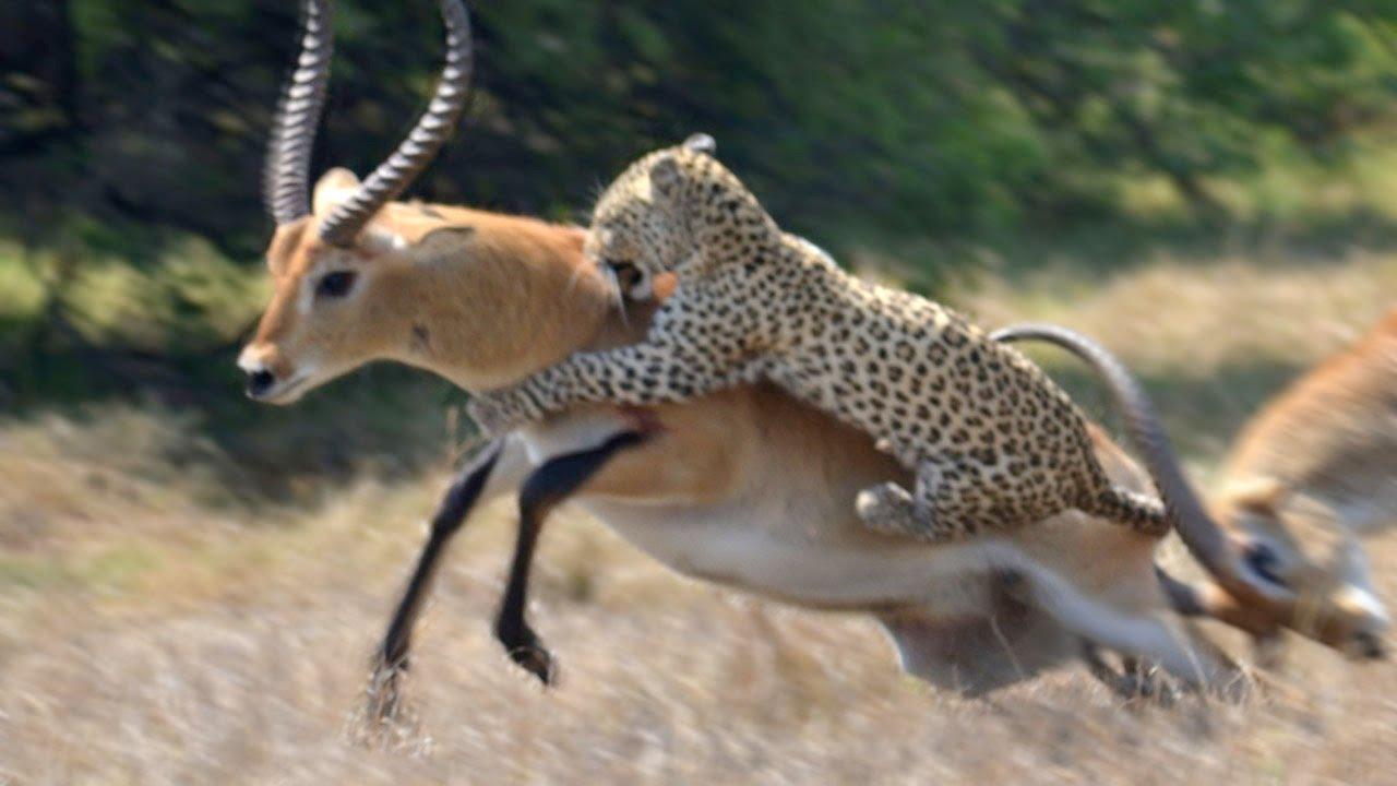 Antilope Ontsnapt Maar Net Aan Panter Dierenbox